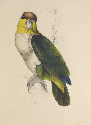 bay-headed-parrot