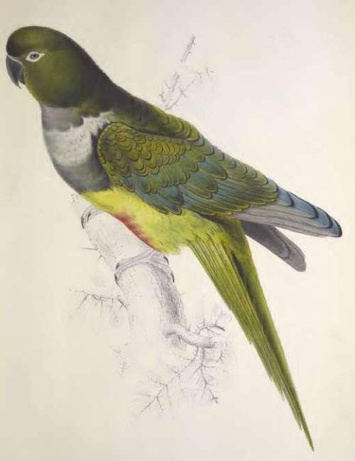 patagonian-parrakeet-maccaw