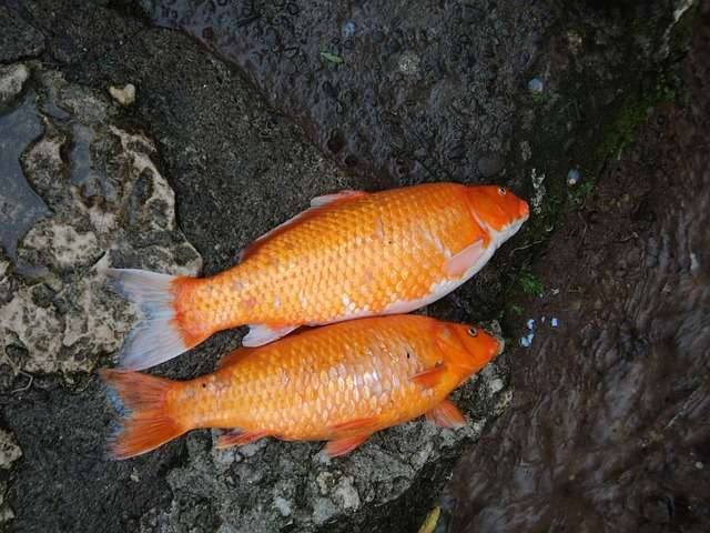 Many interesting facts interesting and free educational for Koi carp fish information